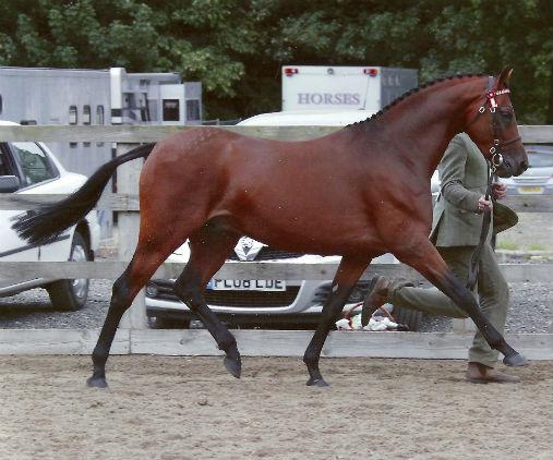 Stanley Grange Regal Heights - Pony Stallion
