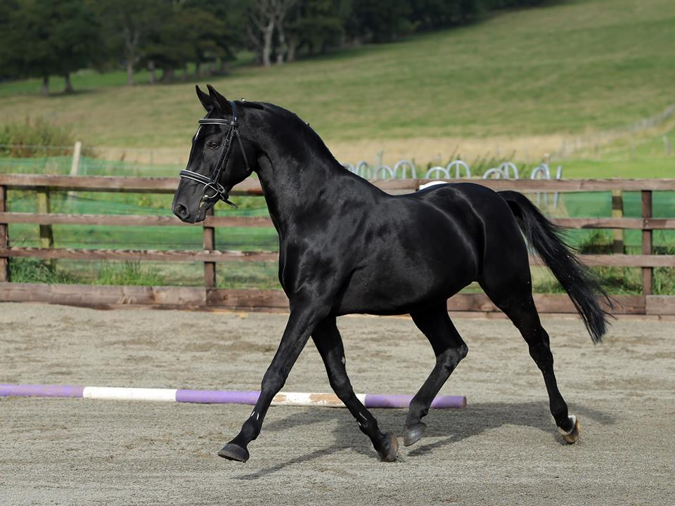Boss Junior - Pony Stallion 2