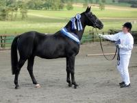 Boss Junior - Pony Stallion
