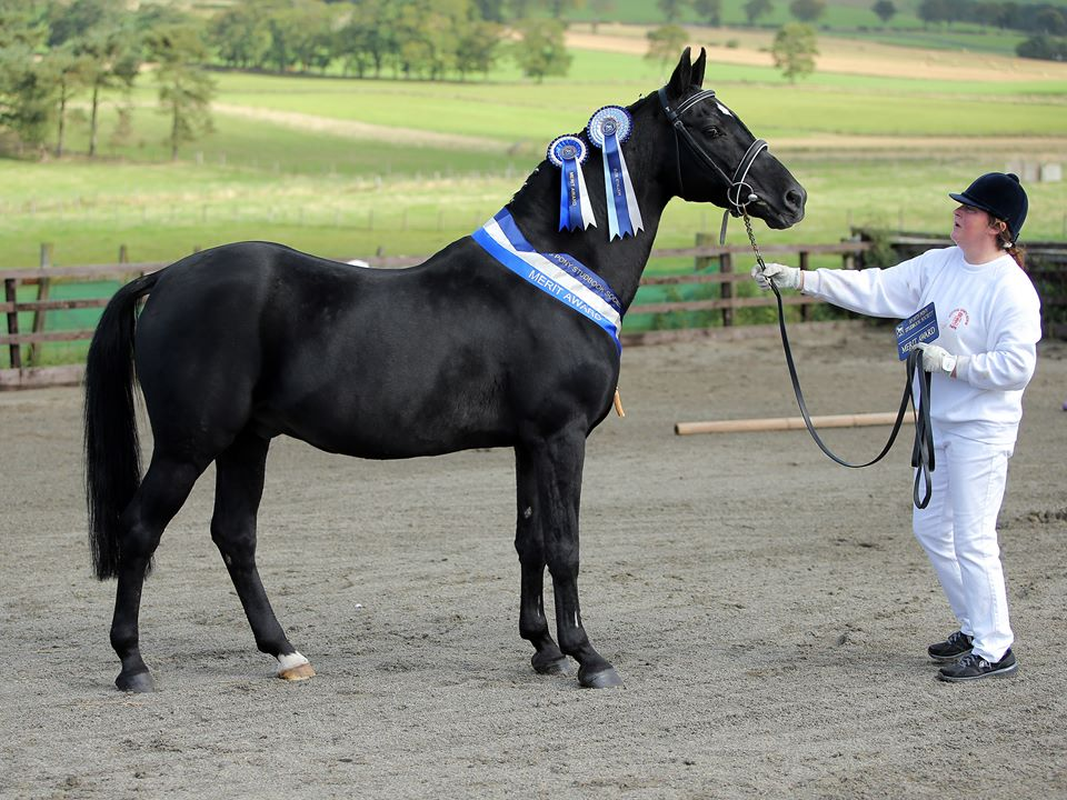 Boss Junior - Pony Stallion