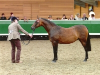 Bradmore Swan Song - Pony Mare Bred at Romanno Stud, Scotland