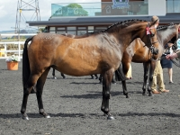 Bradmore Swan Song - Pony Mare by Top Breeders Romanno Stud, Scotland