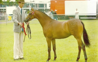 Deanhills Royal Jubilee - Pony Stallion 2