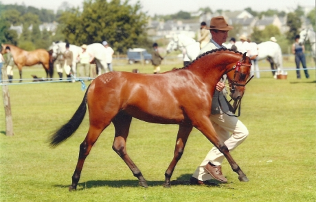 Deanhills Royal Jubilee - Pony Stallion