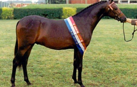 Deanshill Royal Portrait - Pony Stallion