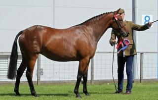 Pony Mare - Romanno Destiny