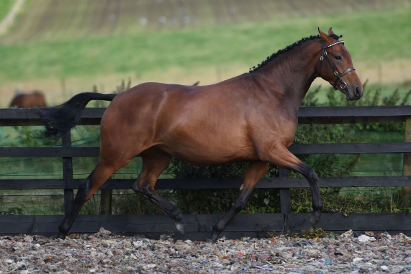 Pony Mare - Romanno Destiny 2017
