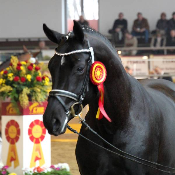 Performance Stallion Hochadel's Offspring 4