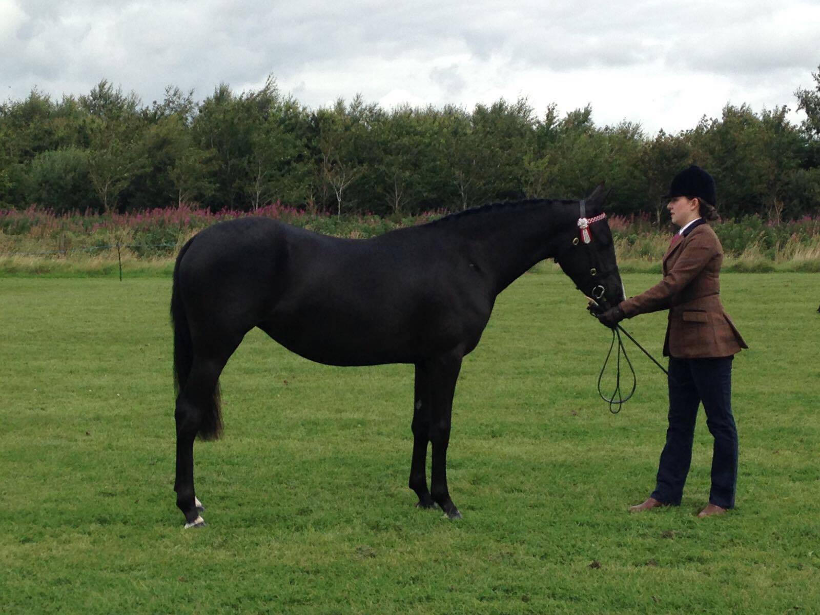 Romanno Stud Breeder of Top Quality Pony Mares