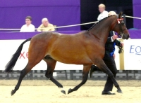 Rotherwood Flamenco - Pony Mare