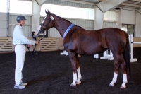 Sansico daughter of Darling - Performance Mare