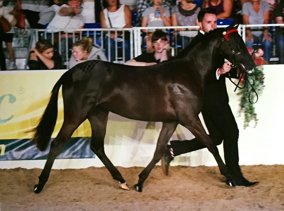 Rotherwood Flamenco Offspring - Whinnie 2016 Equifest