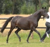 Mirage - Pony Mare Romanno Stud